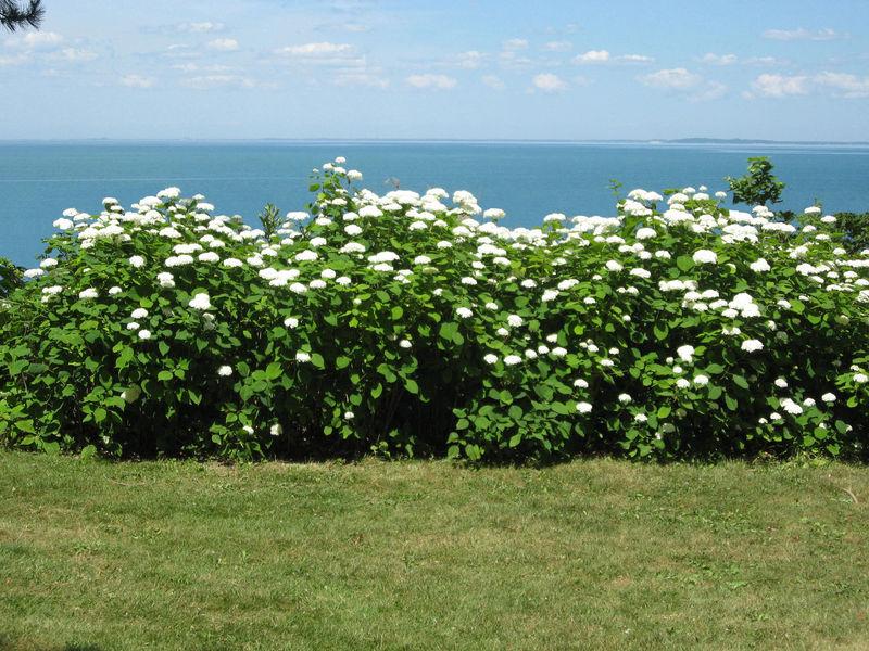 Bushes-in-flower-with-lake-good-110714-RH-copy0.jpg