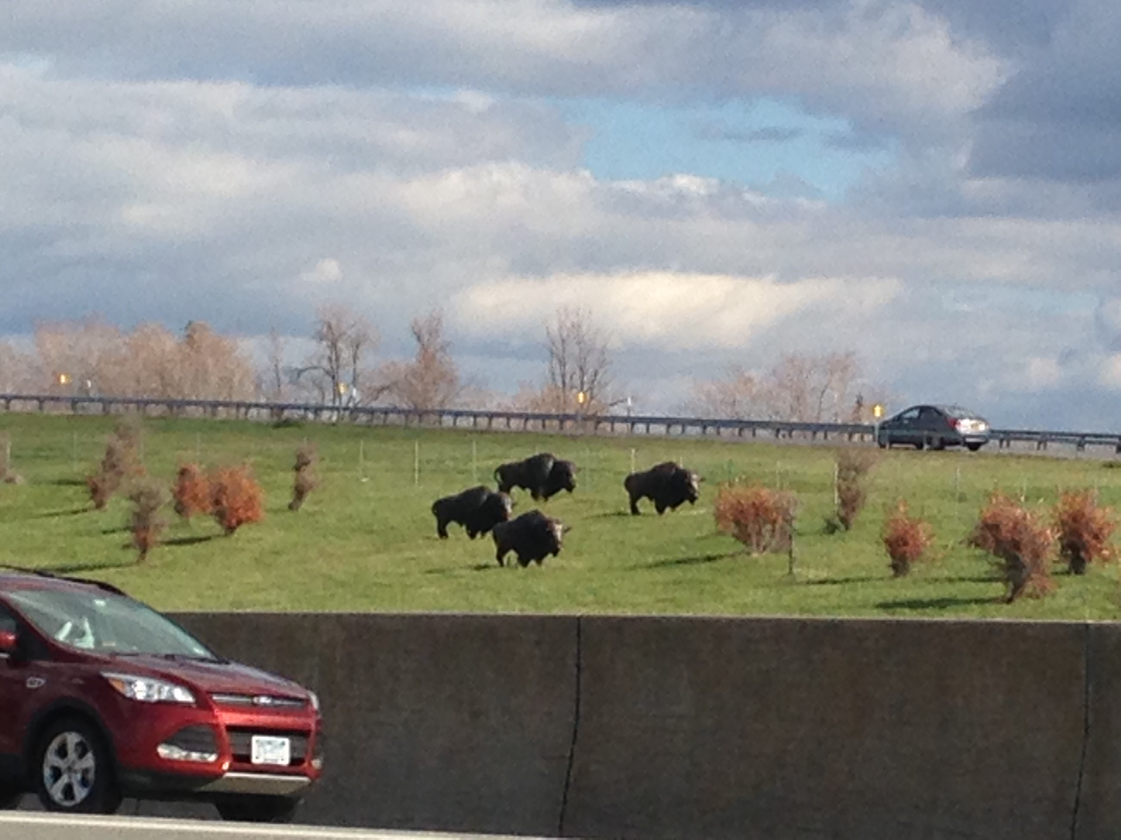 At a thruway interchange. Buffalo statues roam on the fields near the junction of Interstates 90 and 190 in Cheektowaga.