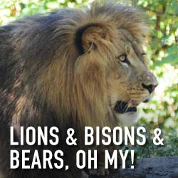 lions-bisons-bears-square